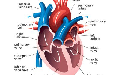 Heart Diagram Simple For Class 10 ~ DIAGRAM