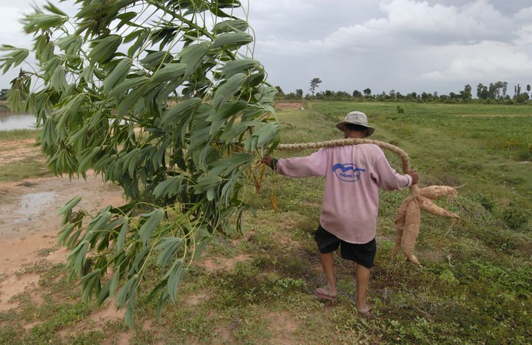 Man carrying a cassava tree through a field.
