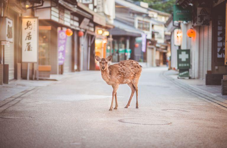 Deer in the street of Miyajima Itsukushima island