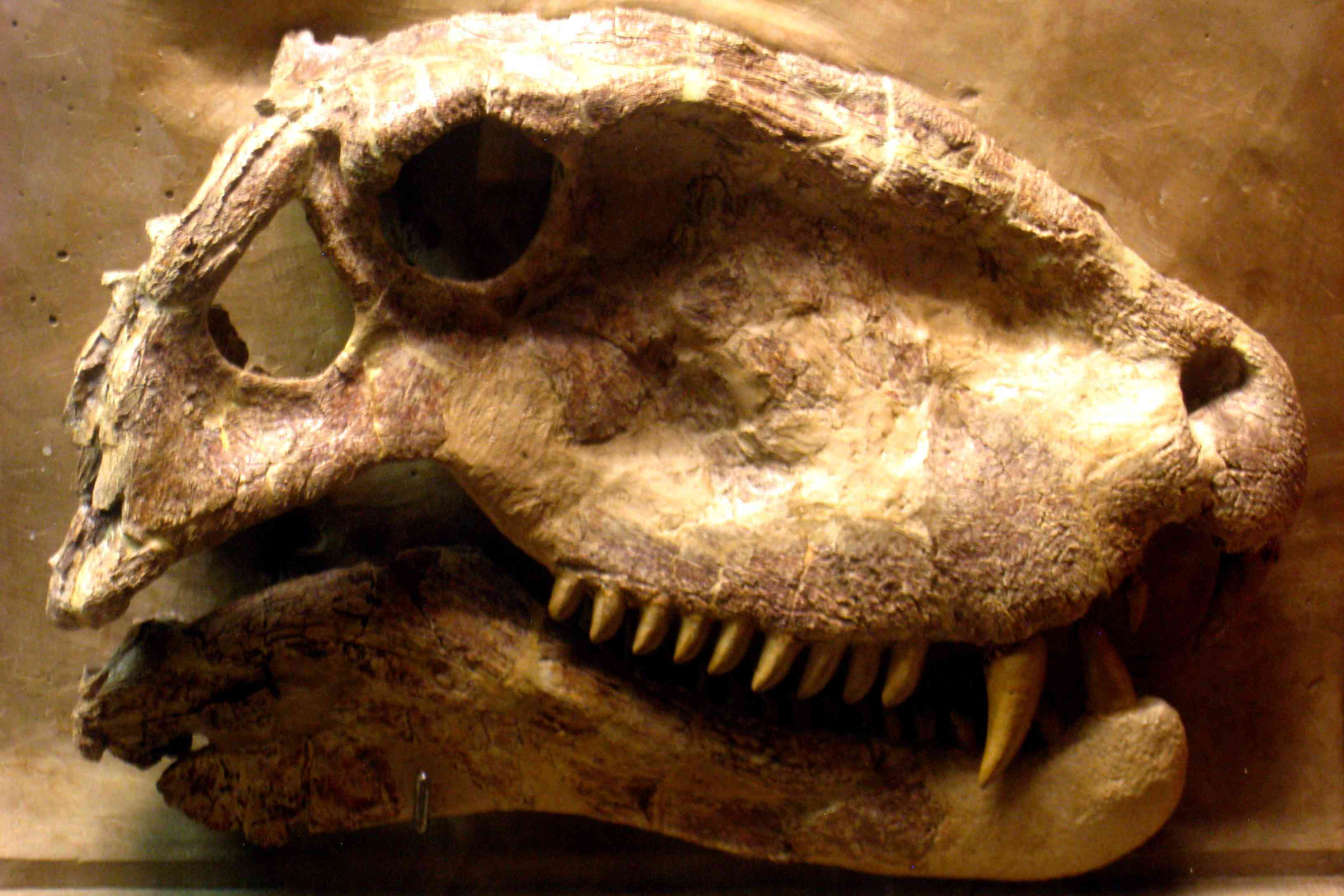 Dimetrodon's skull in profile at the Museum of Natural History, University of Michigan