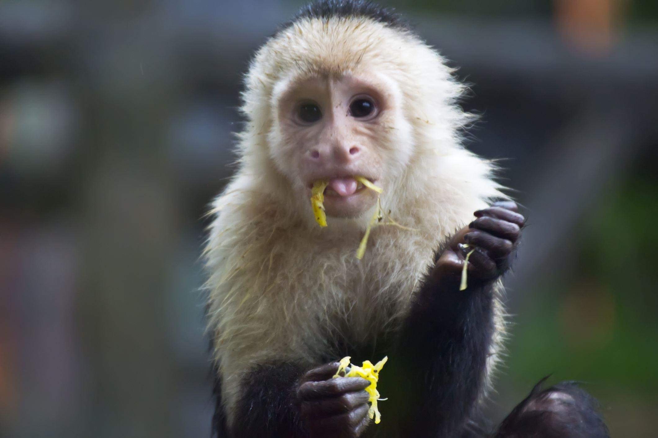 A Capuchin eating a fruit