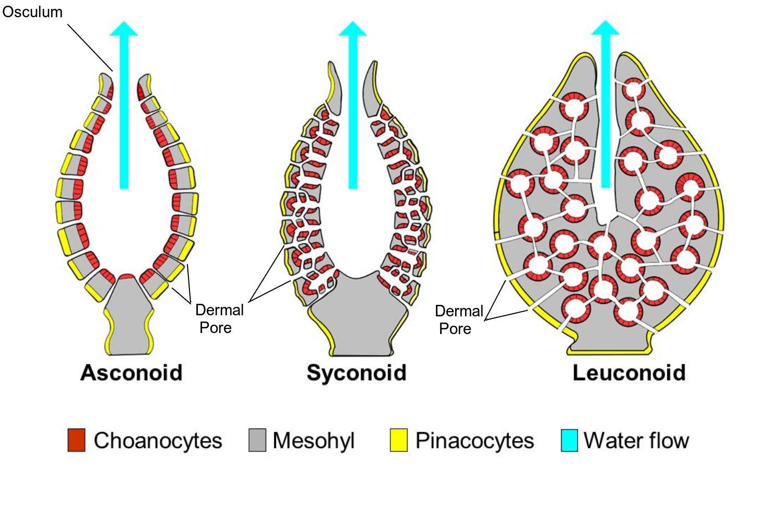Sponge Body Structure