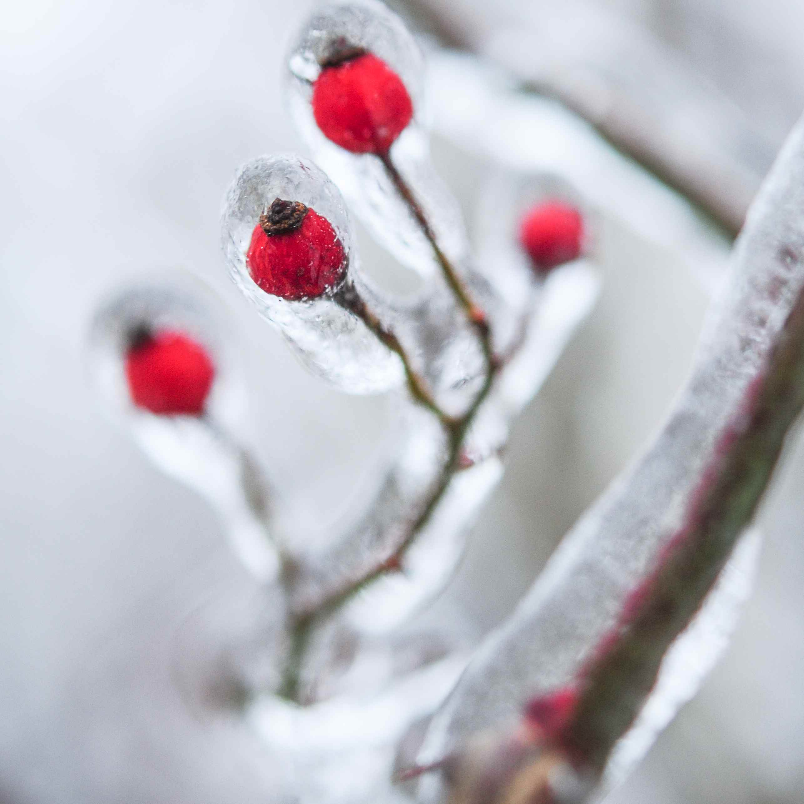 Icicles on red berries