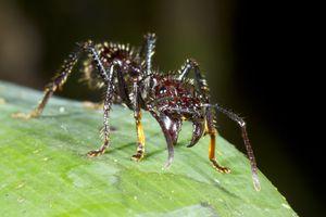 Bullet Ant or Conga Ant (Paraponera clavata)