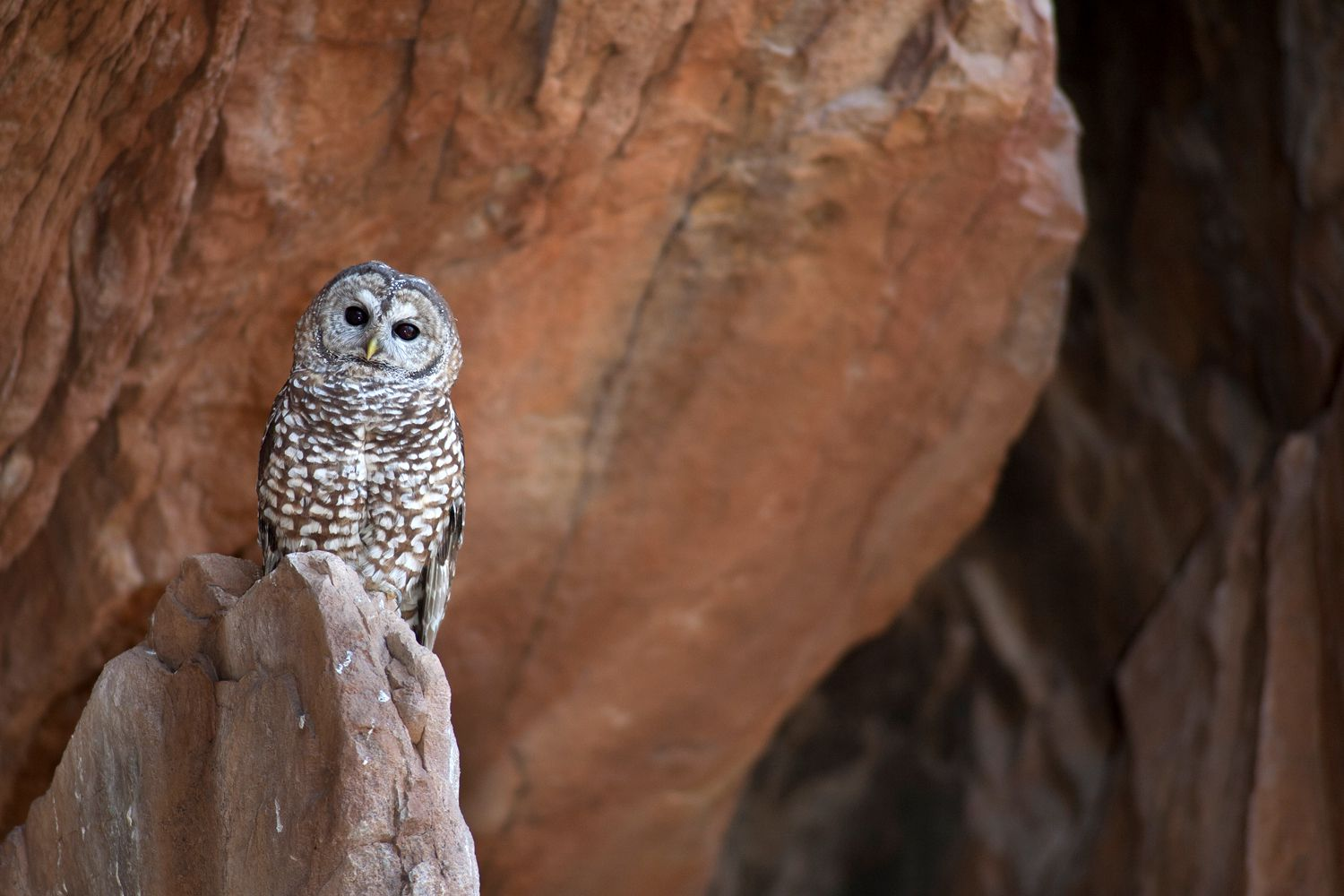 Mexican spotted owl on a rock