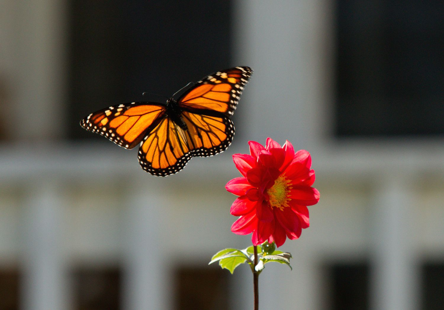 Monarchs use both solar and magnetic compasses to navigate.