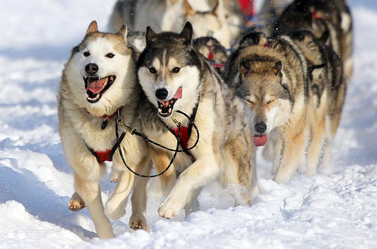 Siberian huskies in an Iditarod race.