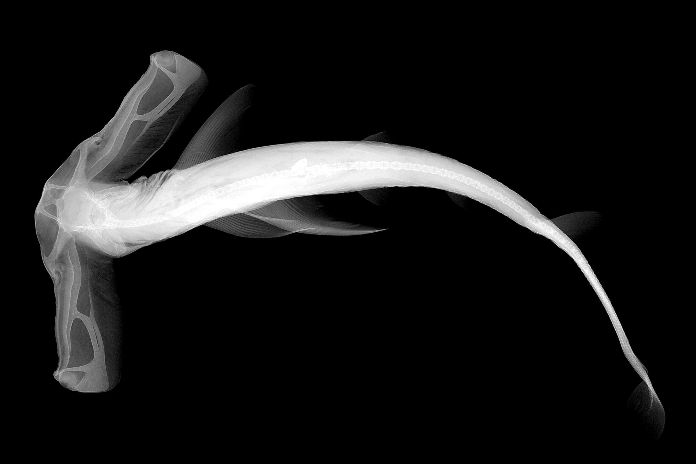 An x-ray of a winghead shark