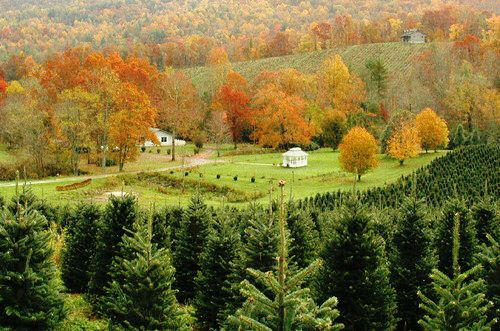 Fraser Fir Christmas Tree Farm