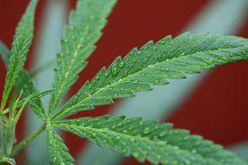 A leaf of a marijuana plant