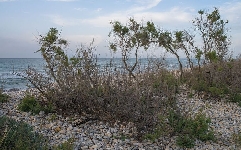 tamarisk tree on beach