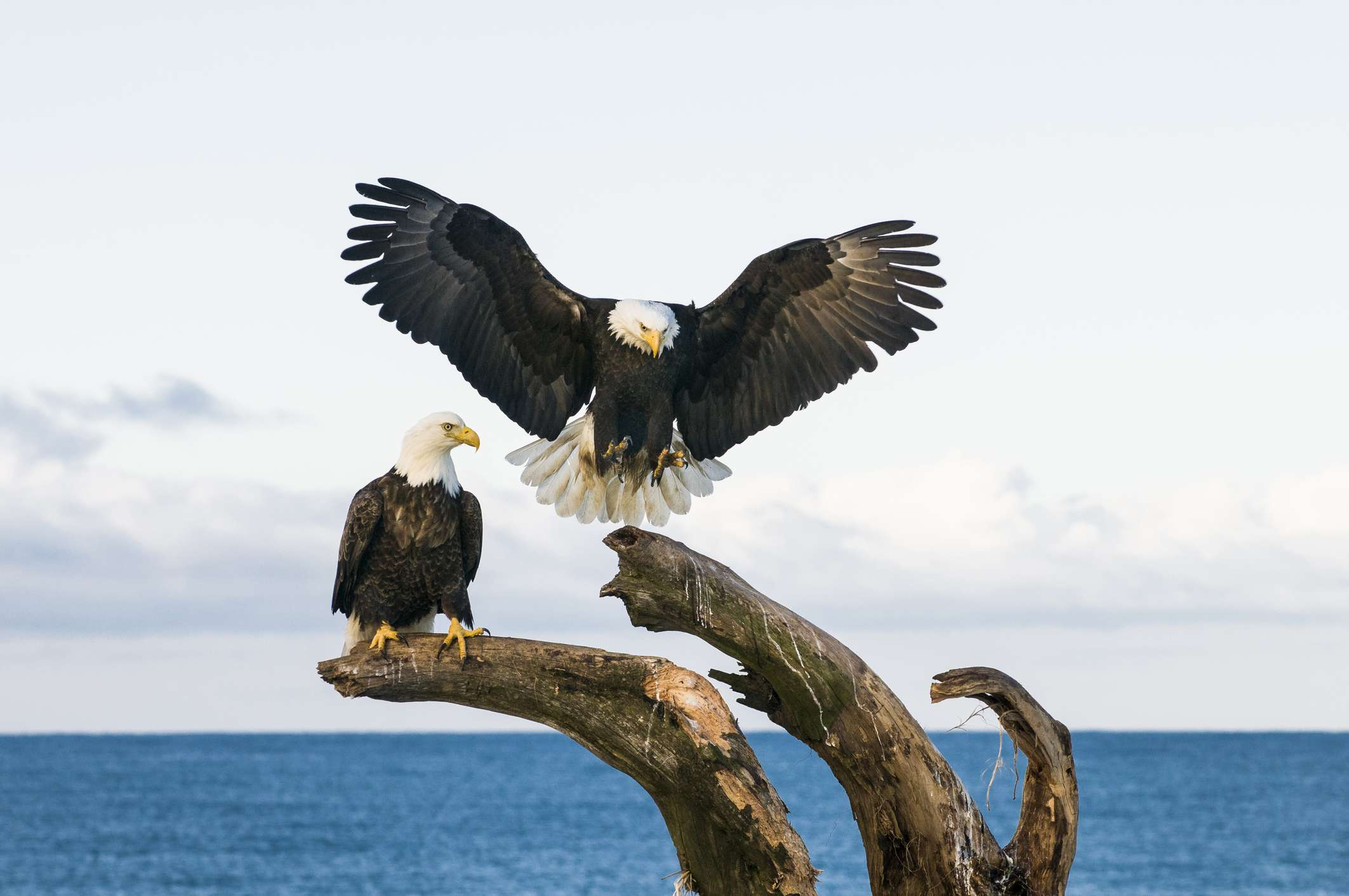 Two American bald eagles