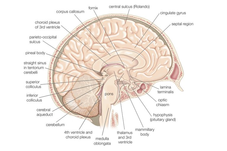 Divisions of the Brain: Forebrain, Midbrain, Hindbrain