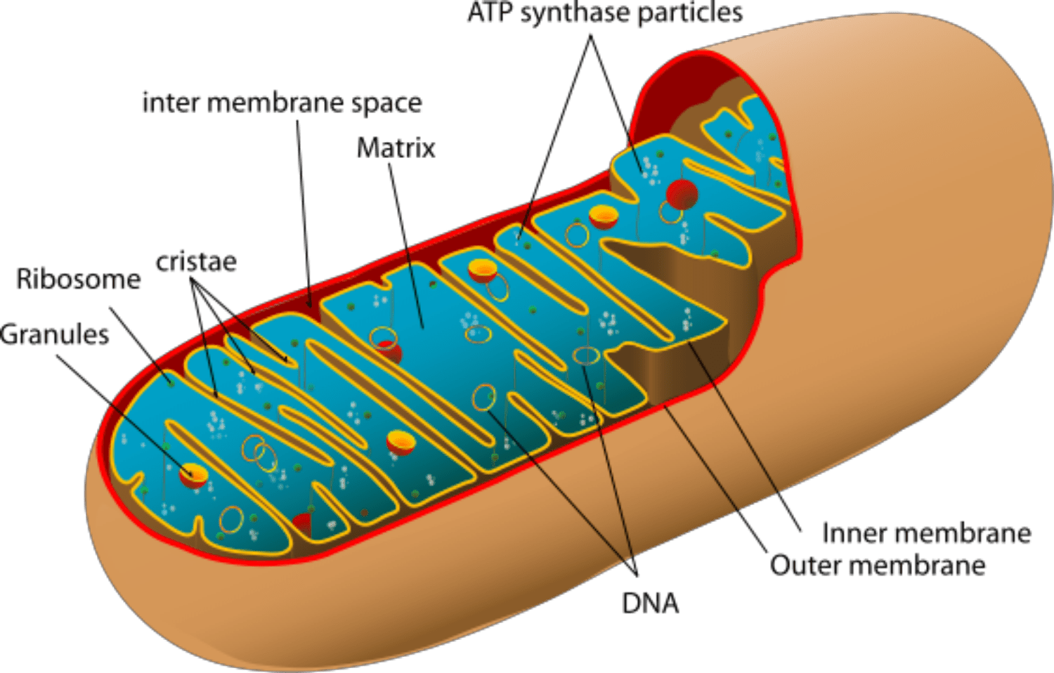 Mitochondria Power Producers In Cells Functional Anatomy Of Prokaryotic And Eukaryotic Mitochondrion Reproduction