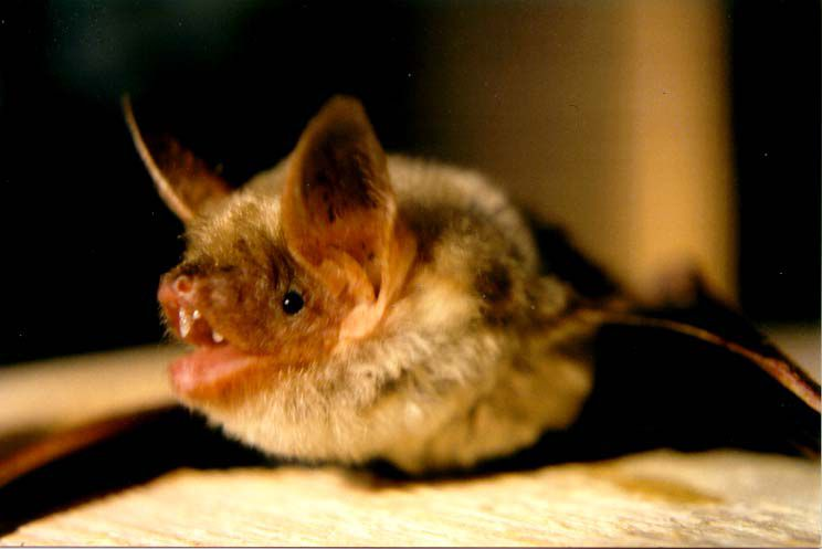 The greater mouse-eared bat