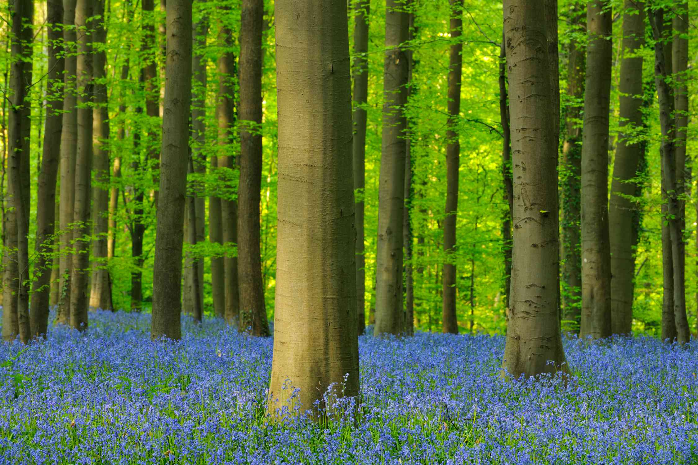 The forest biome includes temperate forests, tropical forests, and boreal forests. The beech forest pictured here is located in Belgium.