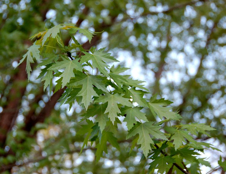 silver maple leaves