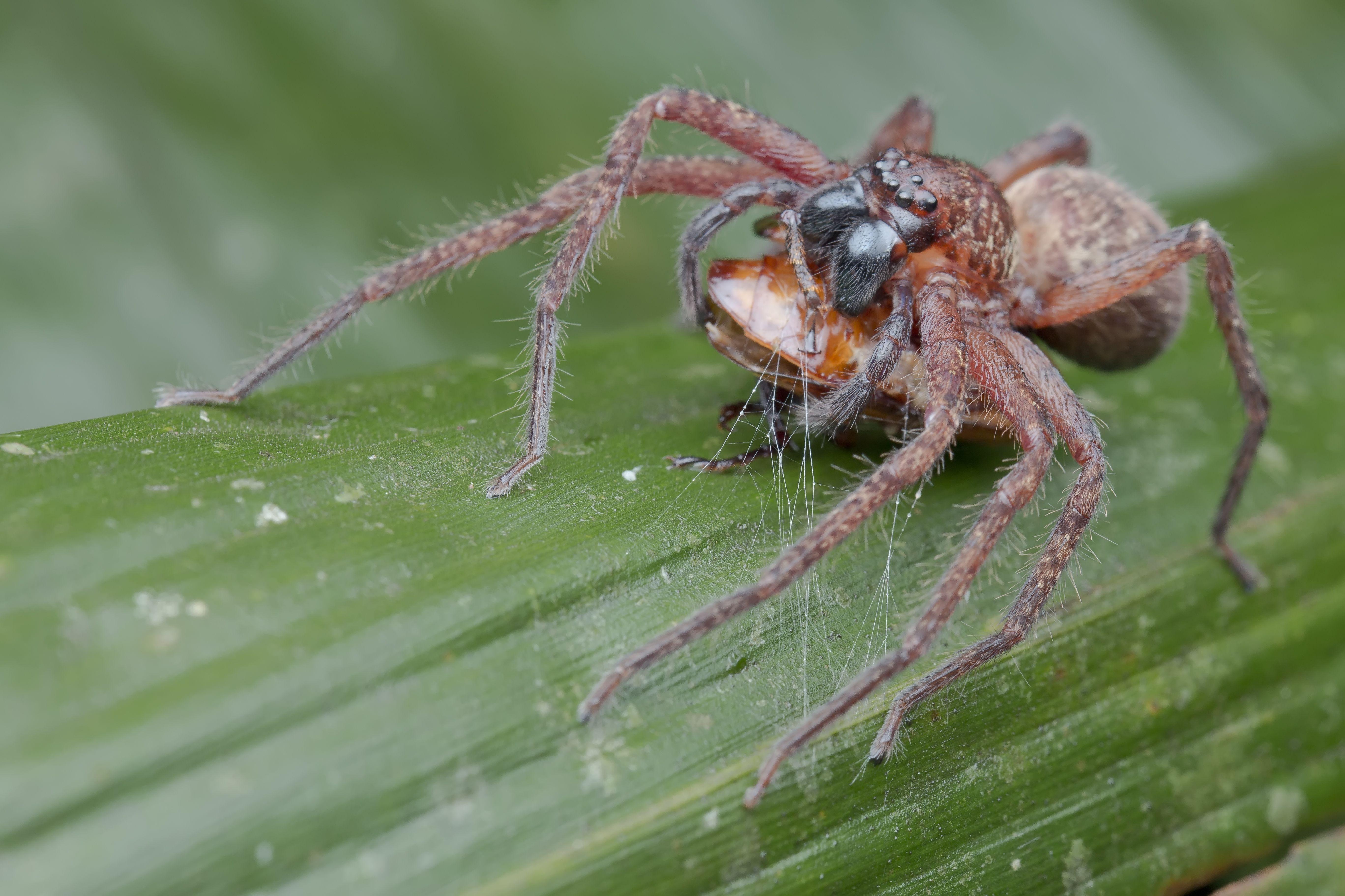 Huntsman spider (Heteropoda sp.) with beetle prey, Ulu Selangor, Selangor, Malaysia.