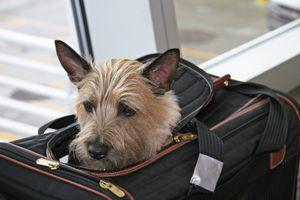 Cairn terrier asomándose de su bolso de mano