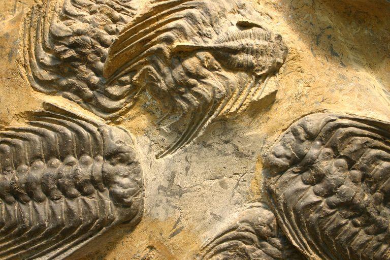 Selenopeltis buchii trilobites and a smaller Dalmanatina from Mount Boutschrafin, Morocco.