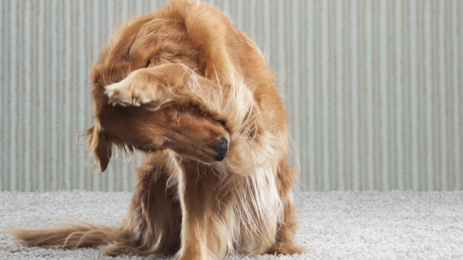 Super How To Get Rid Of Fleas In Your Home Alphanode Cool Chair Designs And Ideas Alphanodeonline