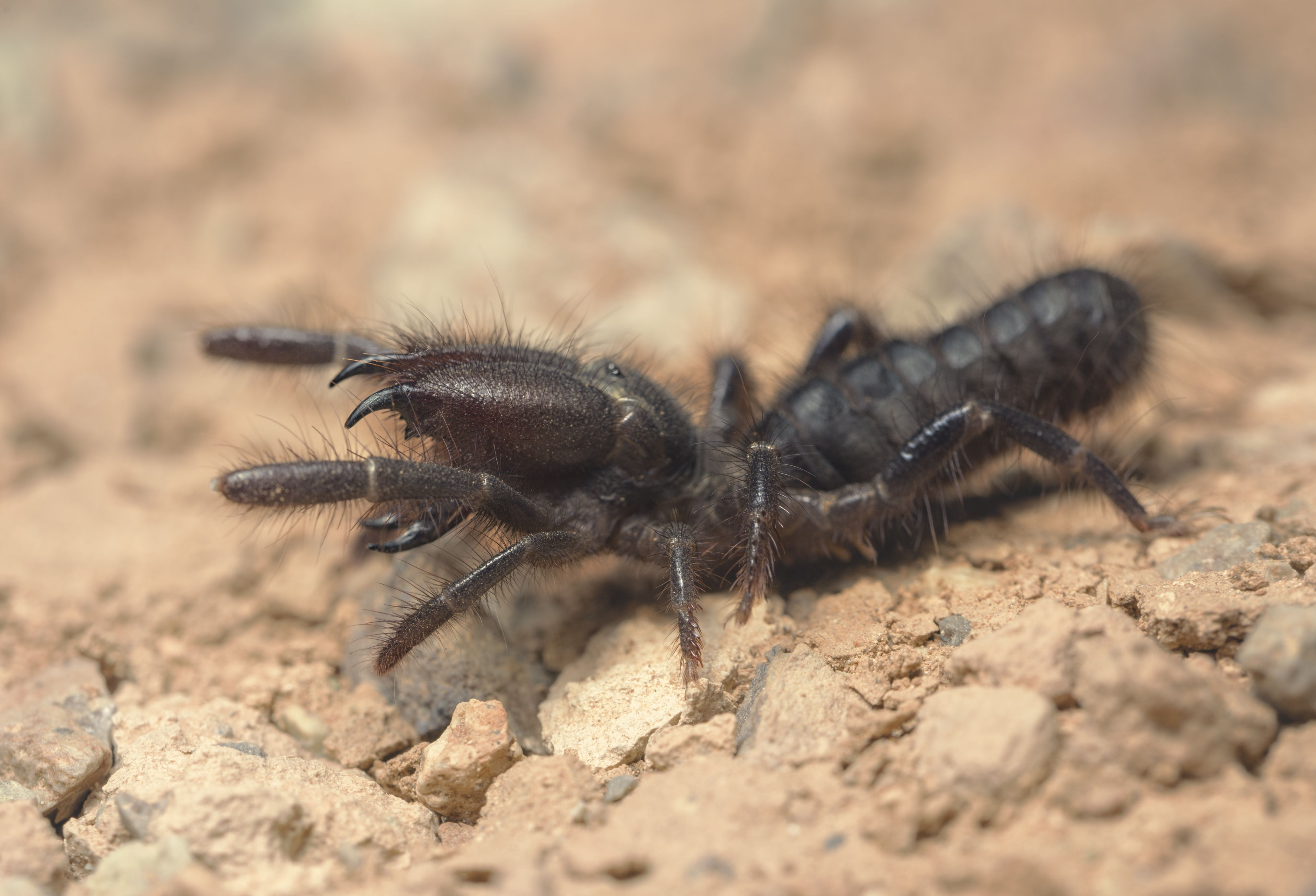 Wild black camel spider hunting at night in Morocco.