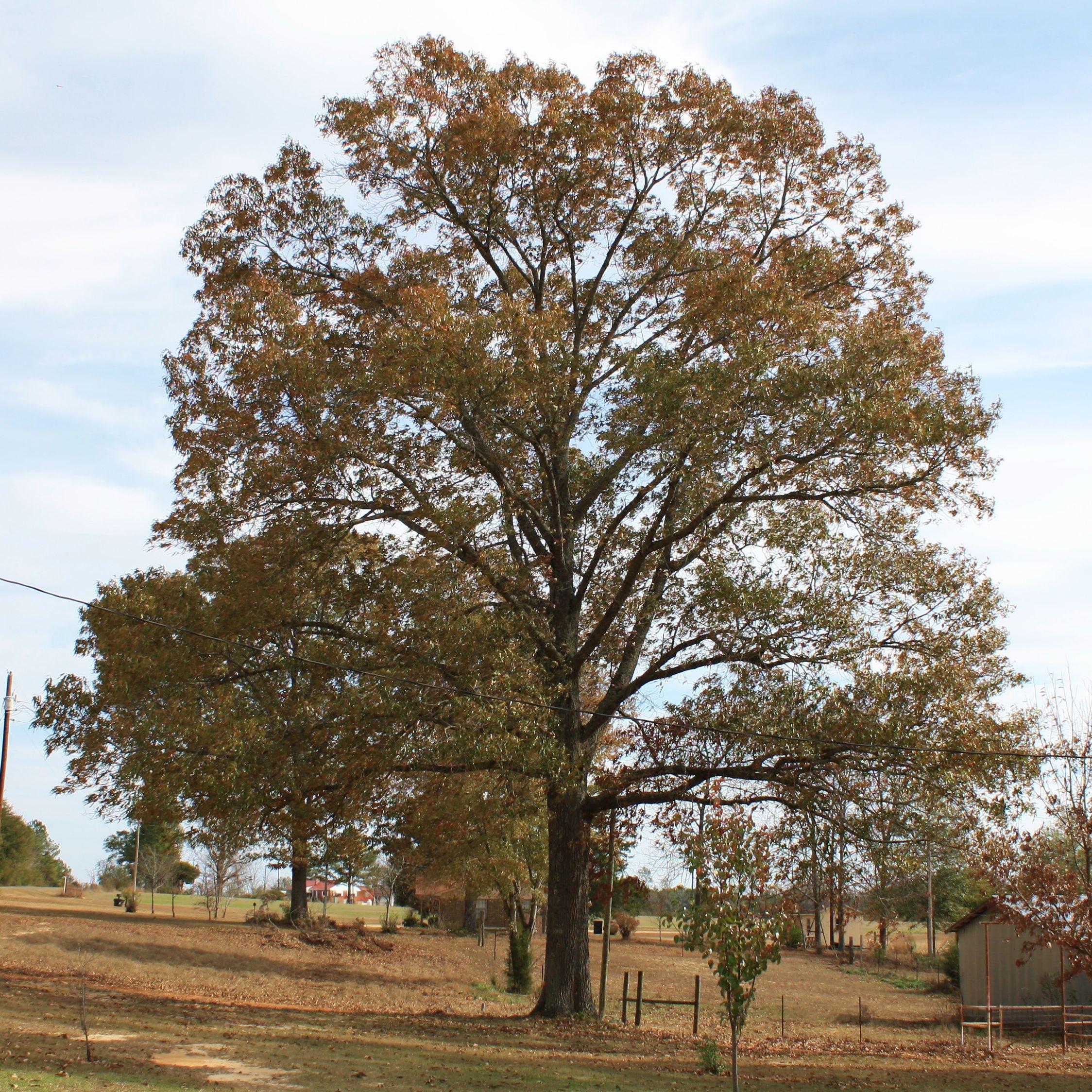 southern red oak tree