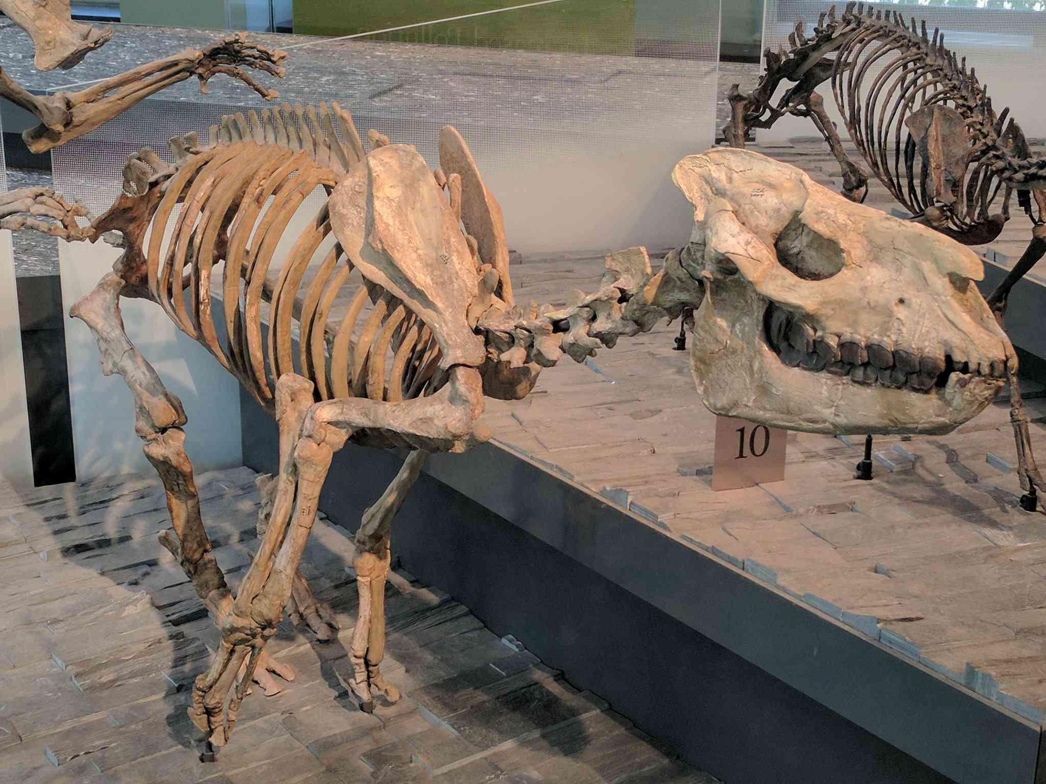 Hydracodon nebraskensis ejecutando pezuña de rinoceronte Museo de Historia Natural de Los Ángeles