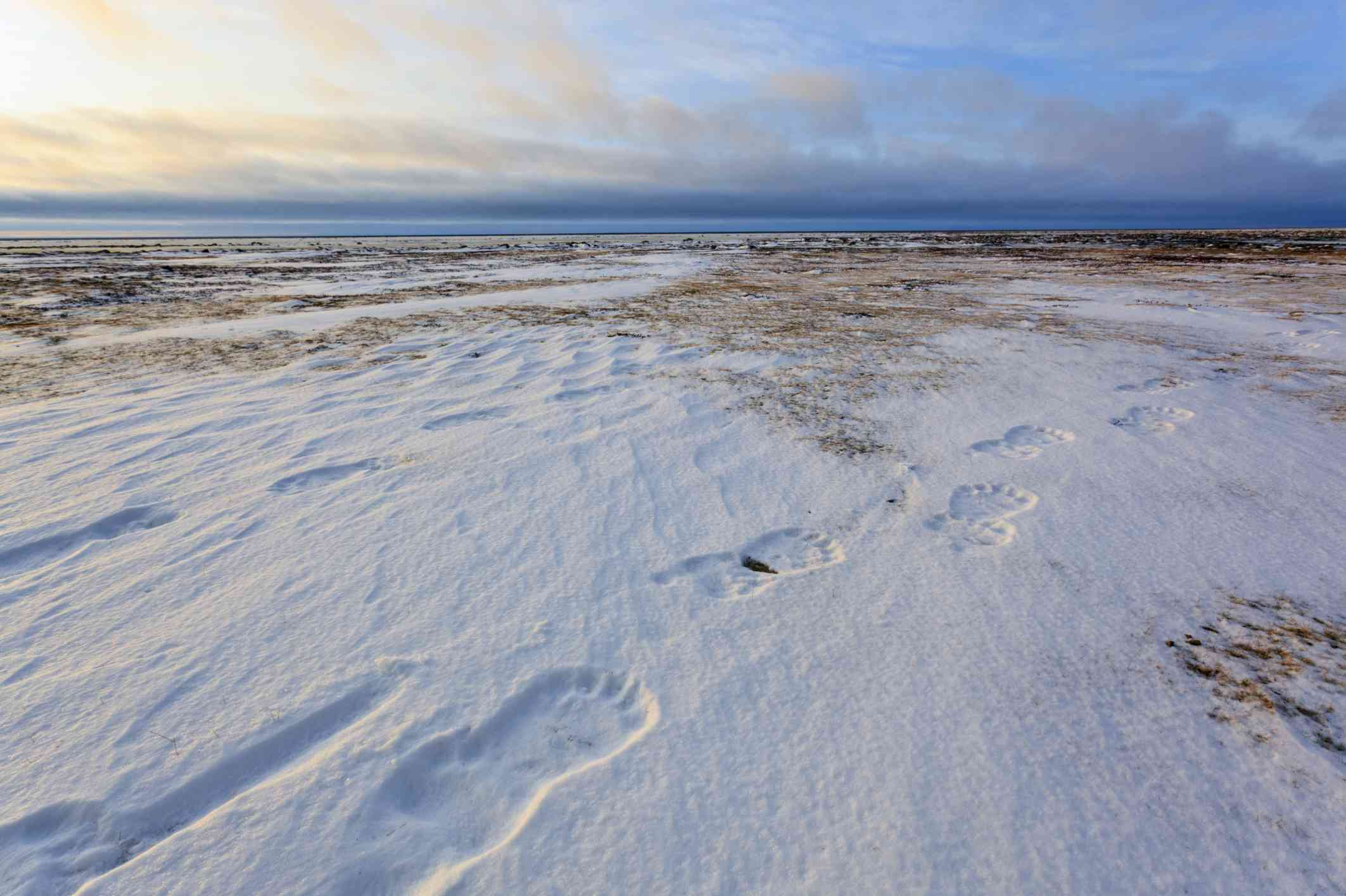 Polar bear tracks in the snow-covered interiors of Canada and Alaska, where continental polar air forms