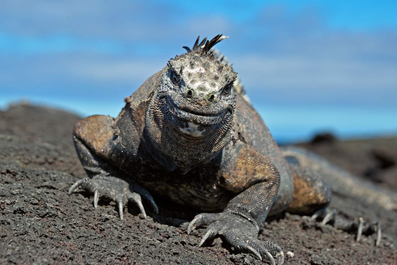 Marine iguana on a rock looking at the camera.