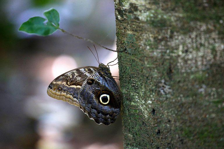 Butterfly (Caligo Illioneus) on a Tree Trunk in Amazon Rainforest
