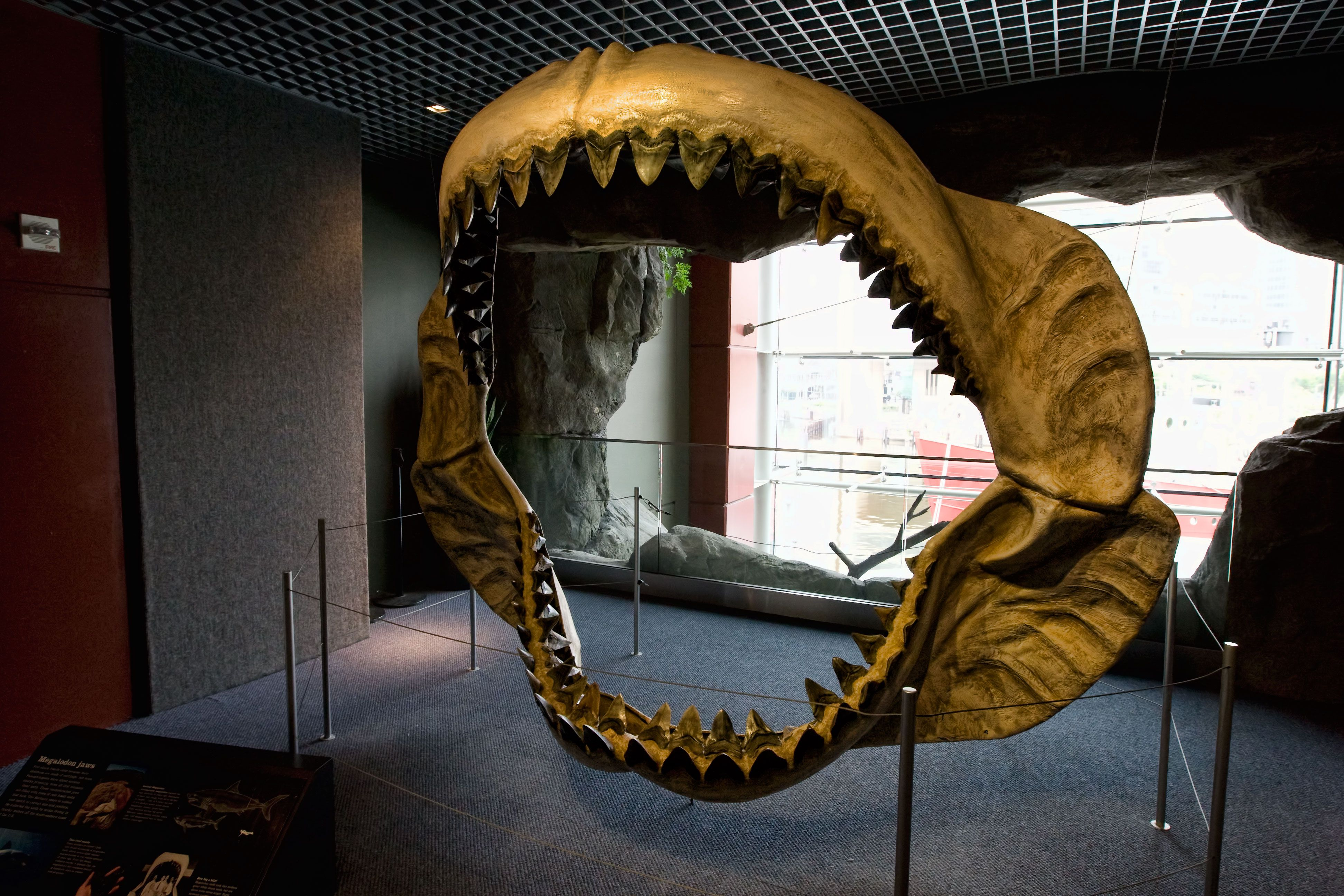 Another massive set of Megalodon jaws
