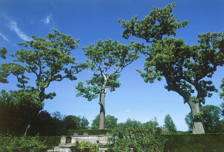 Paulownia tomentosa (Empress tree)