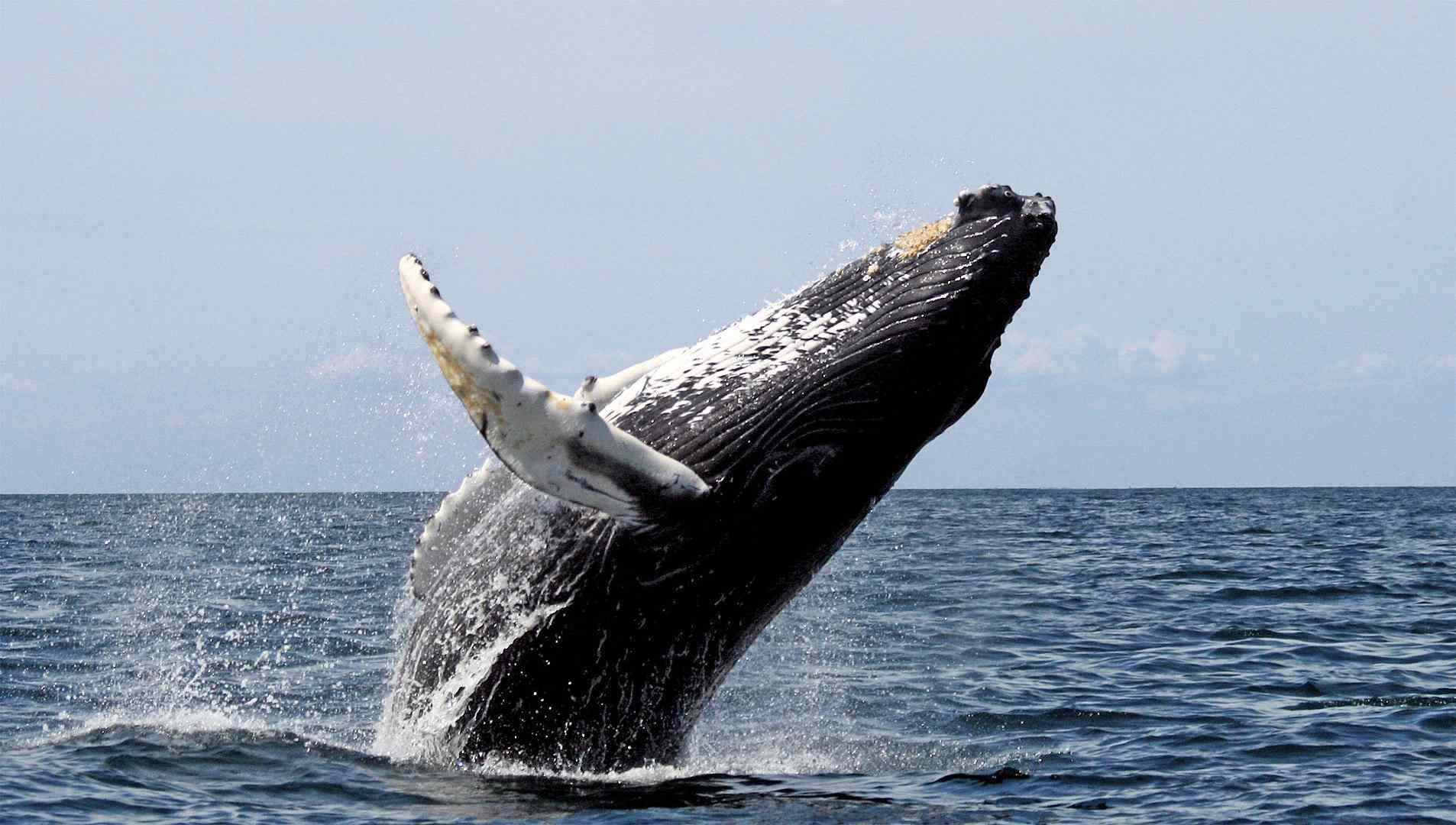 Humpback whale jumping out of the water.