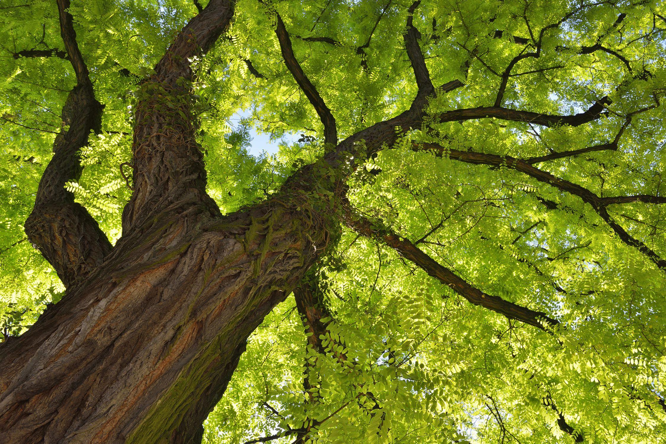 Das Bild eines Baumes blieb für Darwin bestehen, um sich das Keimen neuer Arten aus bestehenden Formen vorzustellen.