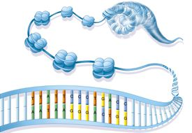 Chromatin and DNA compaction diagram.