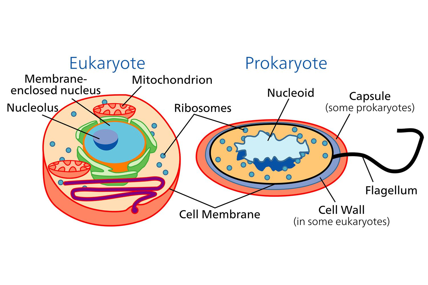Learn About The Different Types Of Cells Prokaryotic And Eukaryotic Cell Diagram This Article Provides A Labeled Animal