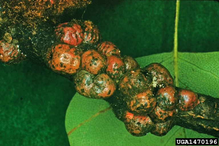 scale insects infecting plant