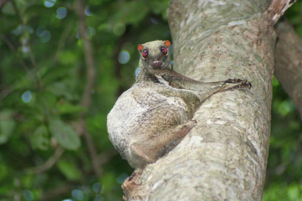 Colugo clinging to a tree trunk looking at camera.