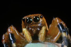 Face of jumping spider