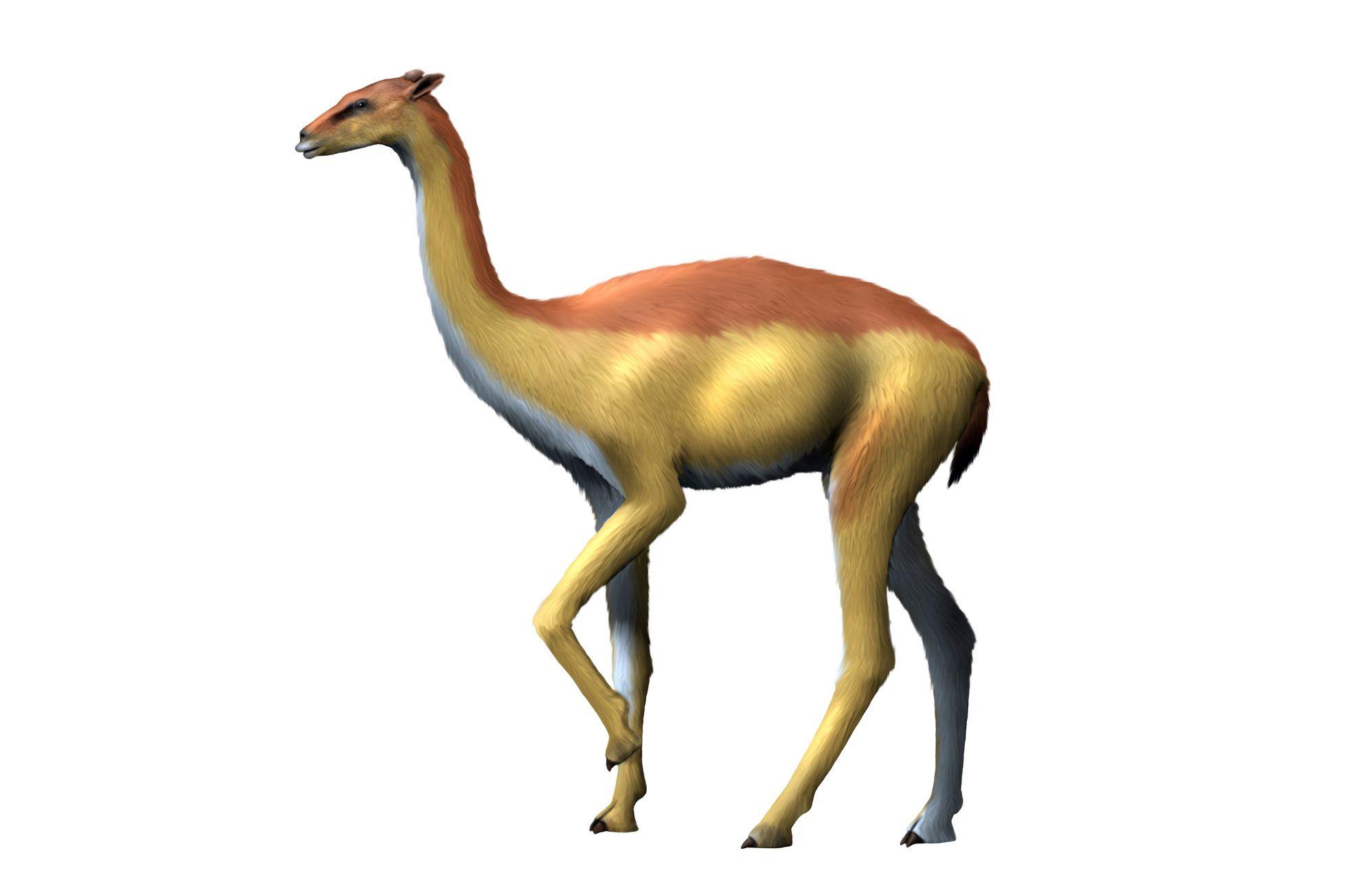 Aepycamelus giraffinus, camel, Miocene of Colorado