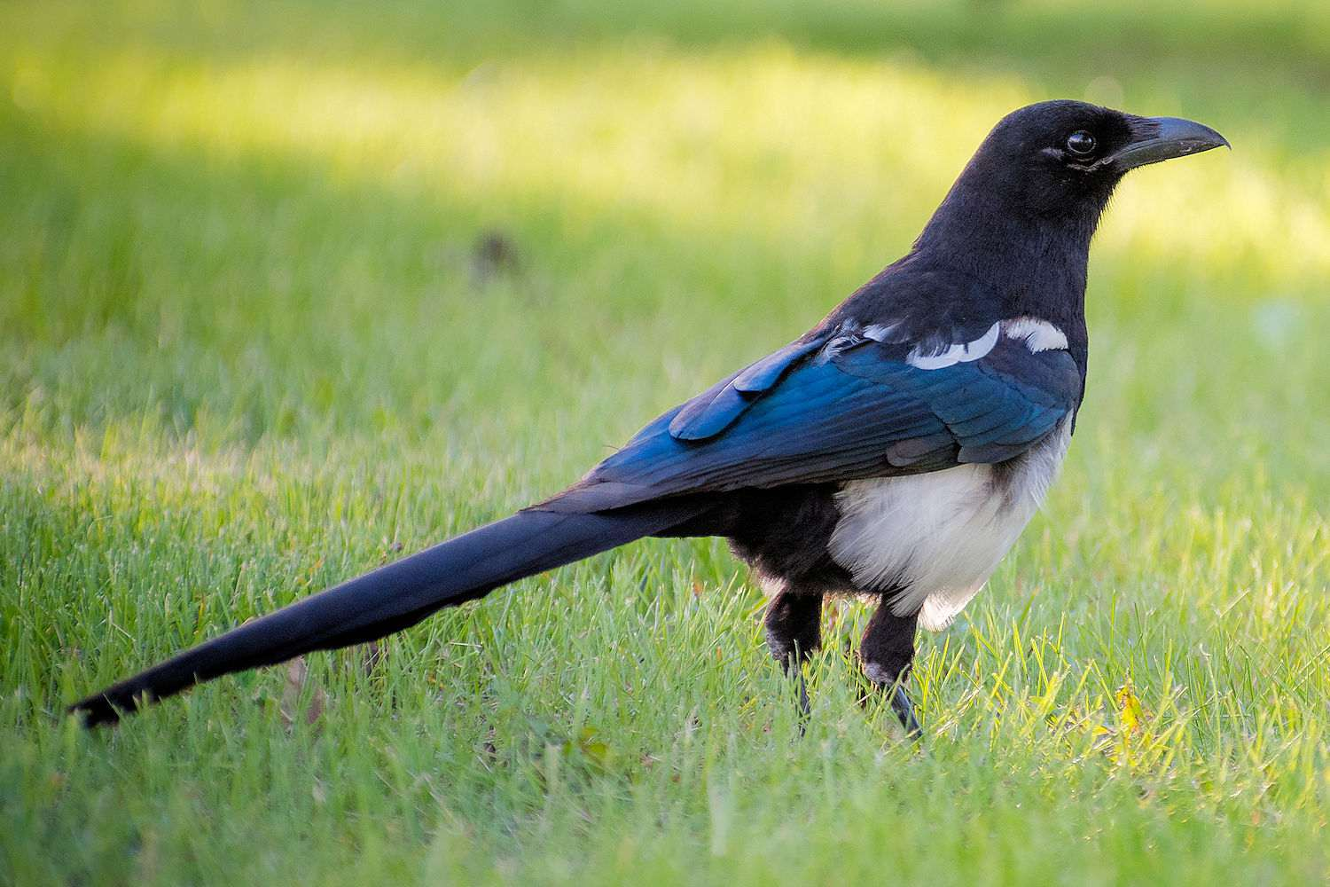 Black Billed Magpie standing in a field
