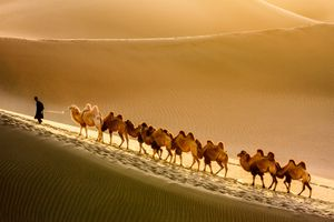 Man traveling through desert with camels.