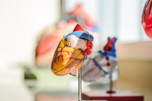 Model showing the anatomy of the human heart.