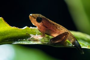 A juvenile tree frog with backlighting