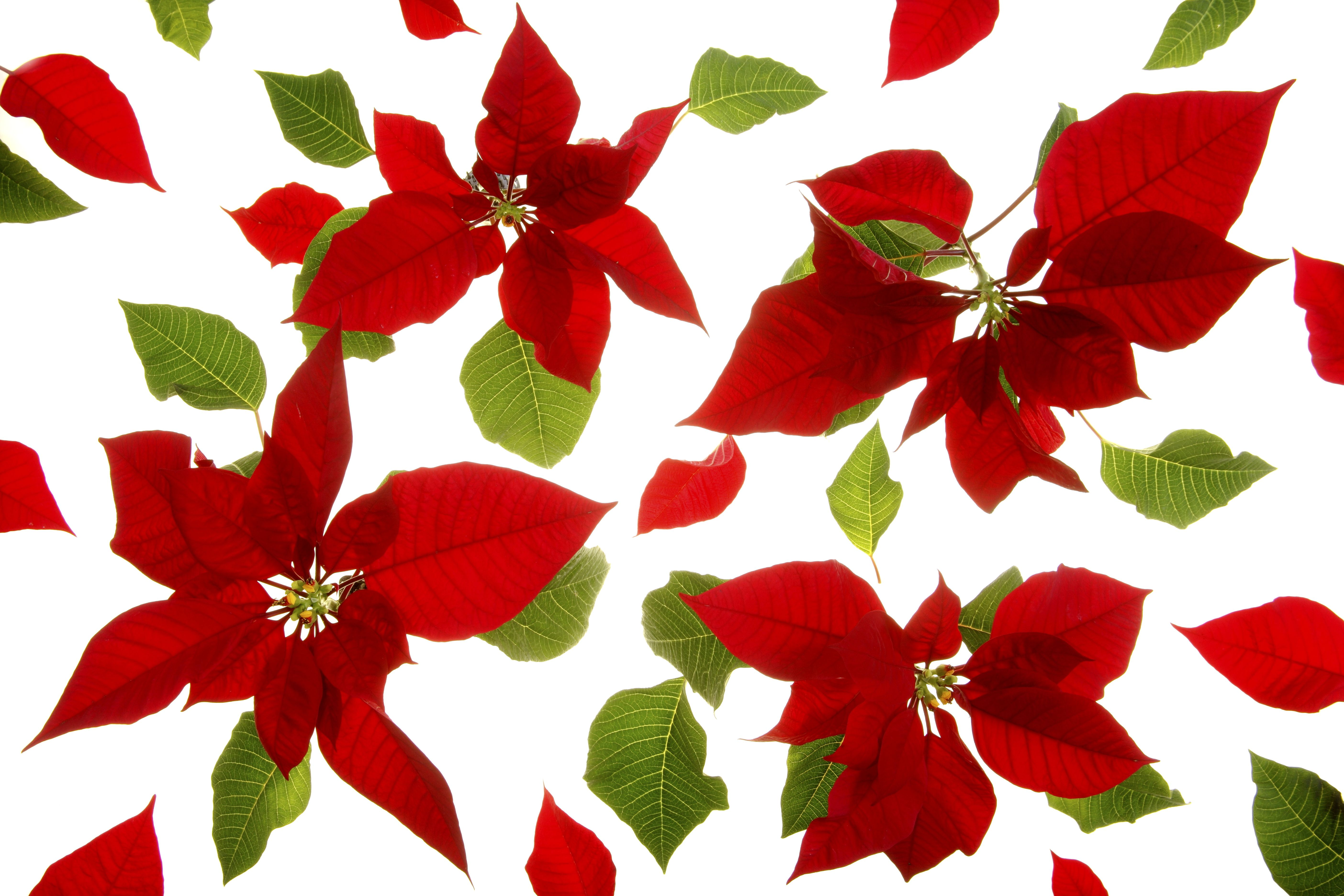 Poinsettia pH Paper - Holiday Chemistry Project