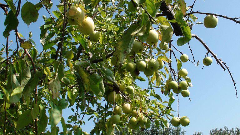 Apple tree in Porto Portugal