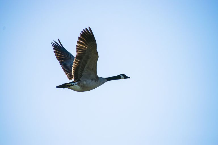 Canada goose in full flight against a blue sky.