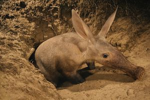 An aardvark emerges from its underground home