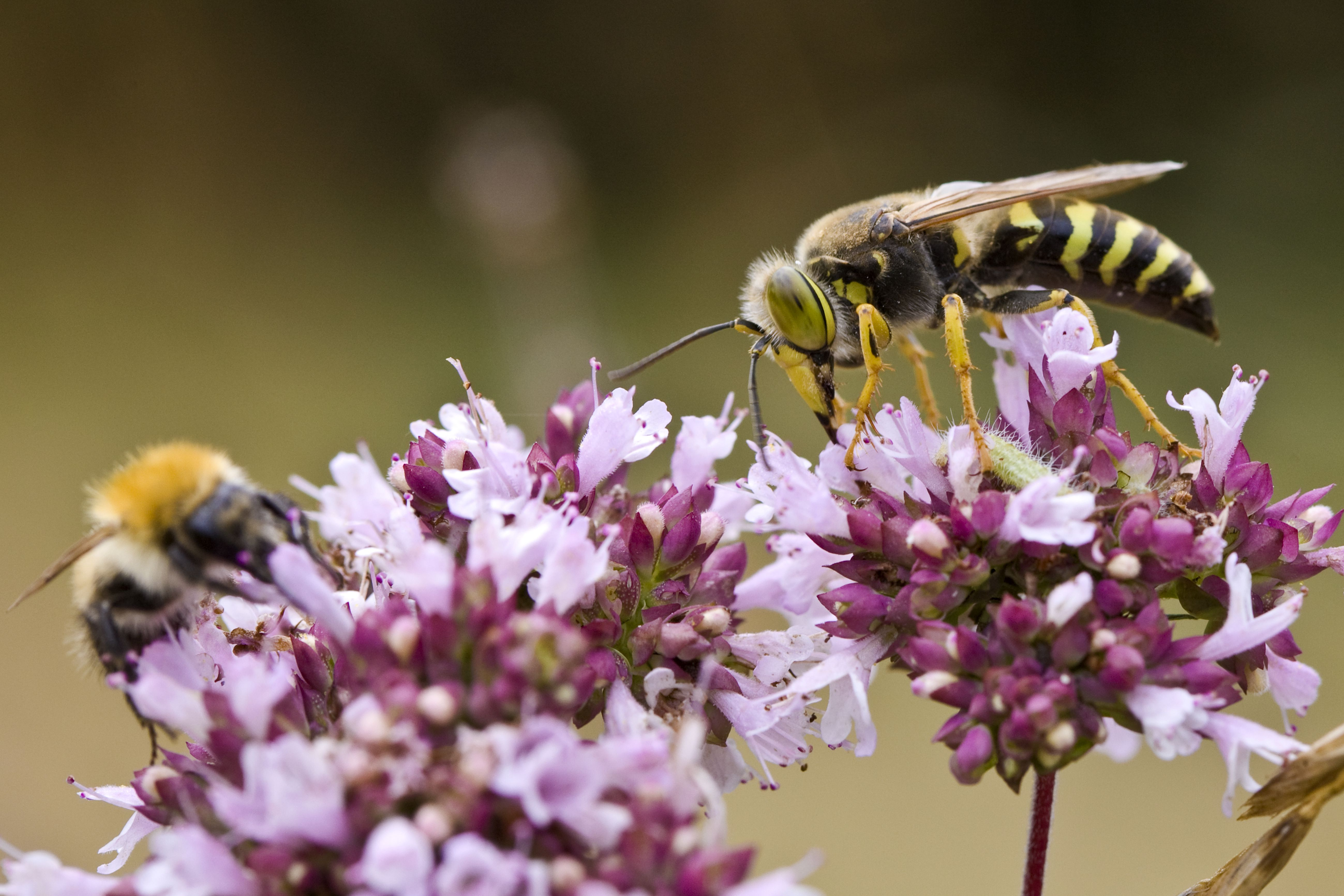 Wasp and Bee Gather Pollen, Γαλλία